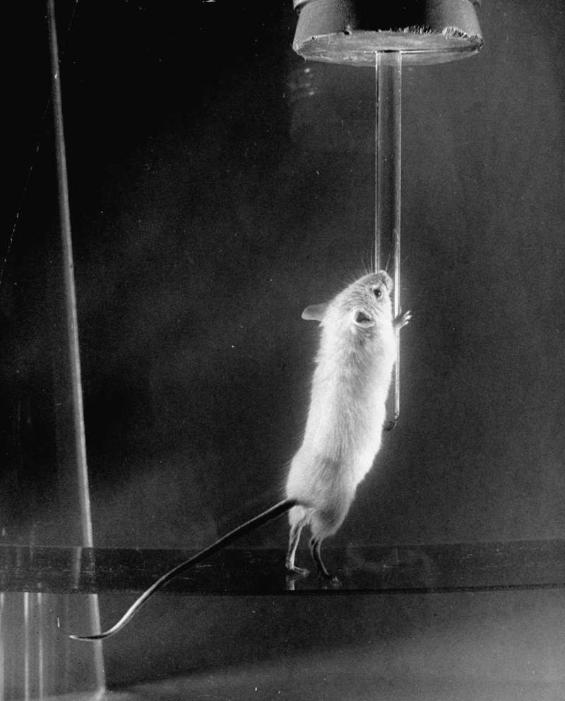A rat from the Bikini Atoll tests presses against a dropper. Nearly all the rats in the second test, an underwater explosion codenamed Baker, died.