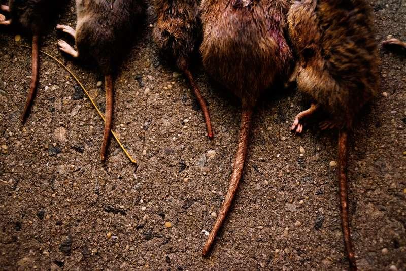 rat tails on city sidewalk
