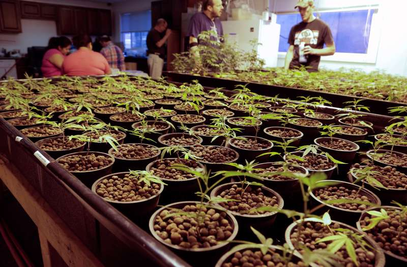Cloned marijuana plants are pictured at the Sea of Green Farms growing facility in Seattle, Washington June 30, 2014.