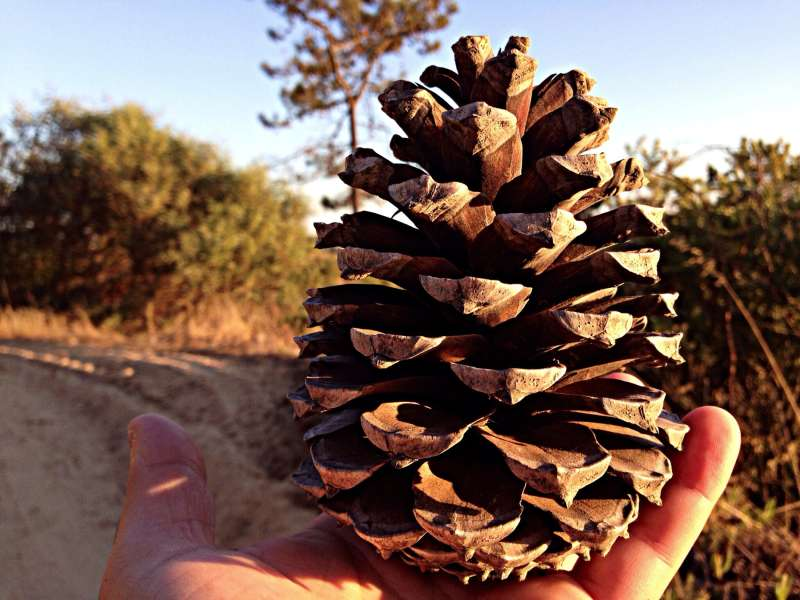 gigantic pine cone in hand