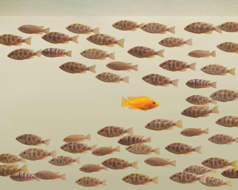 goldfish swimming against school of fish