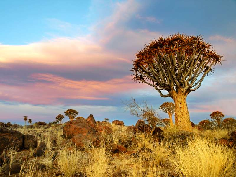 The Kalahari desert's quiver tree forest in Nambia.