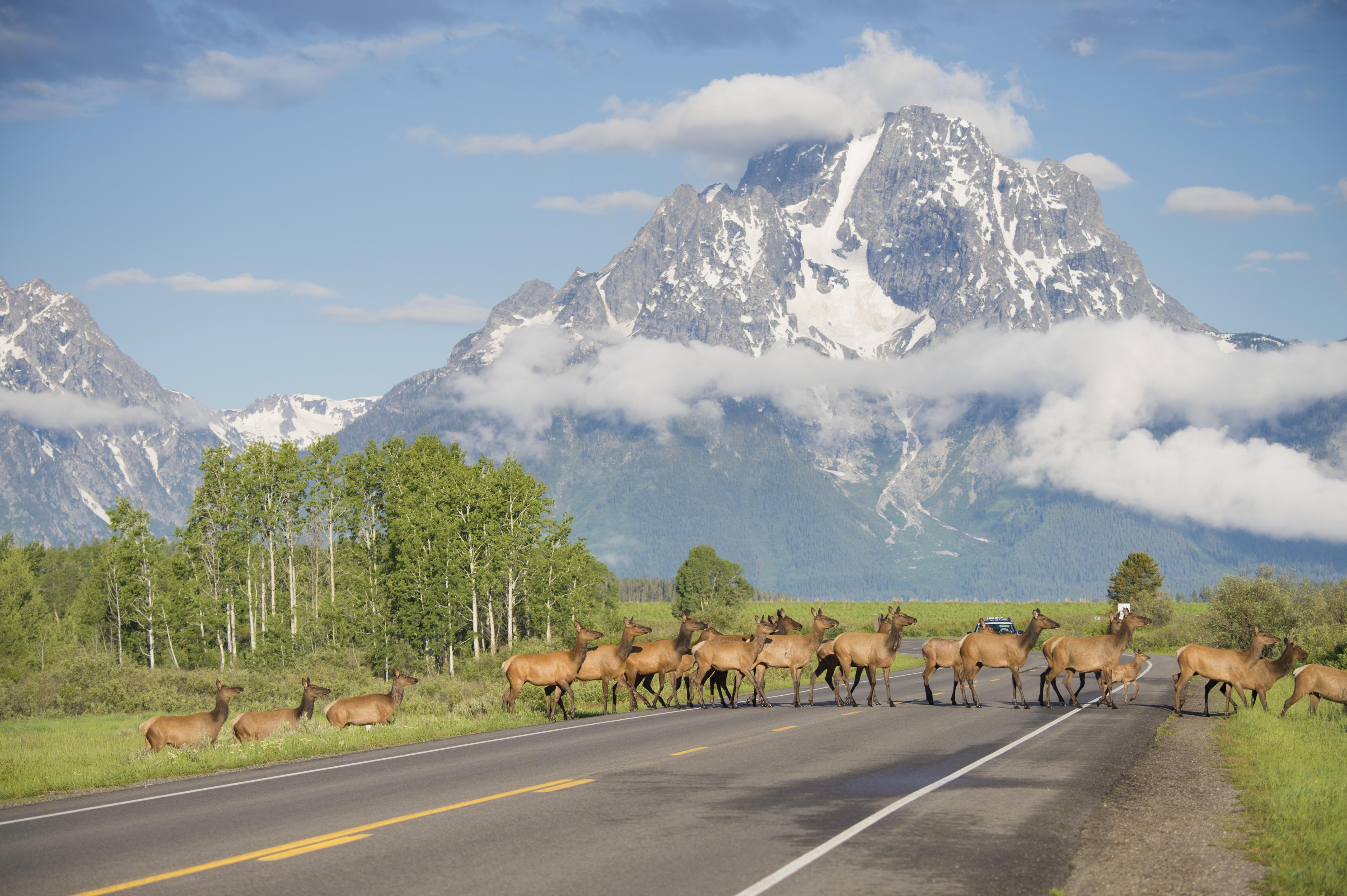 Elk crossing highway in Grand Teton National Park, Wyoming.