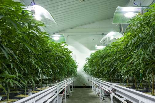 The Number of Pot Jobs Could Triple in the Years to Come
