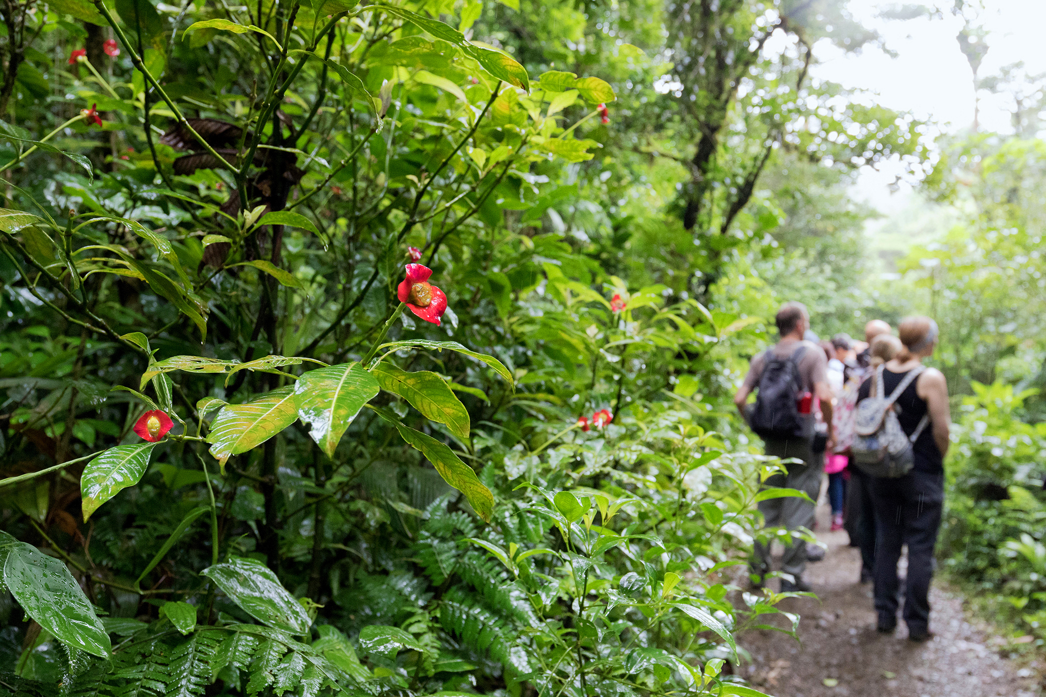A group of visitors walking in the cloud forest, Monteverde, Costa Rica,