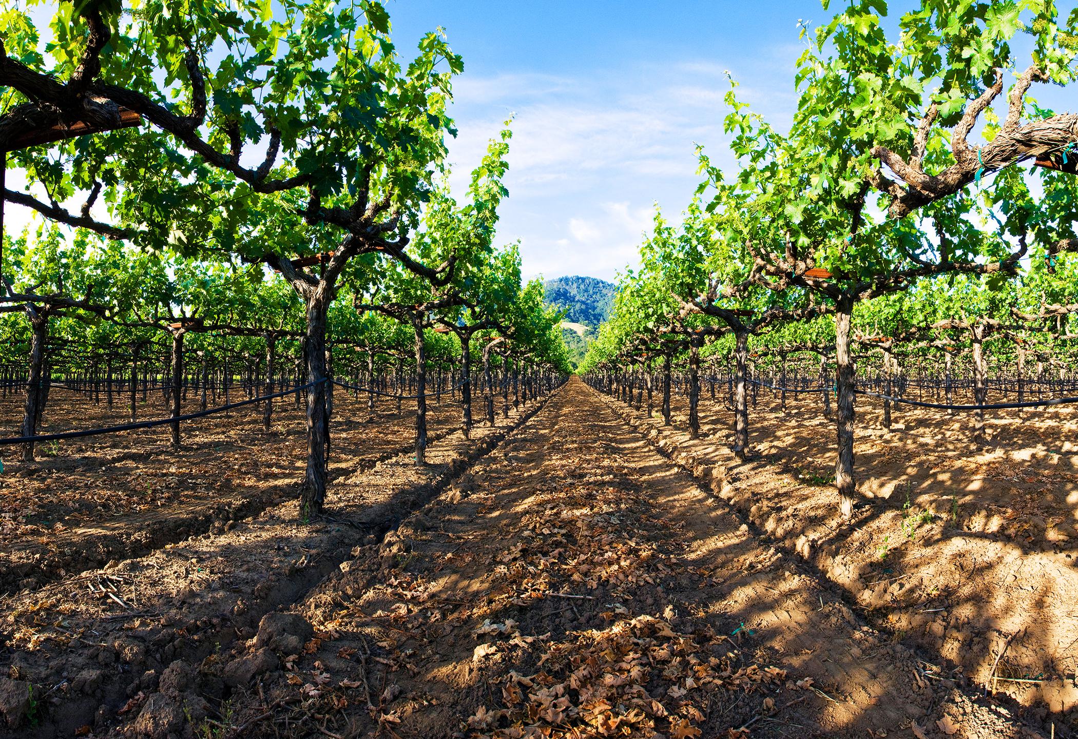 ground level image of vineyard rows