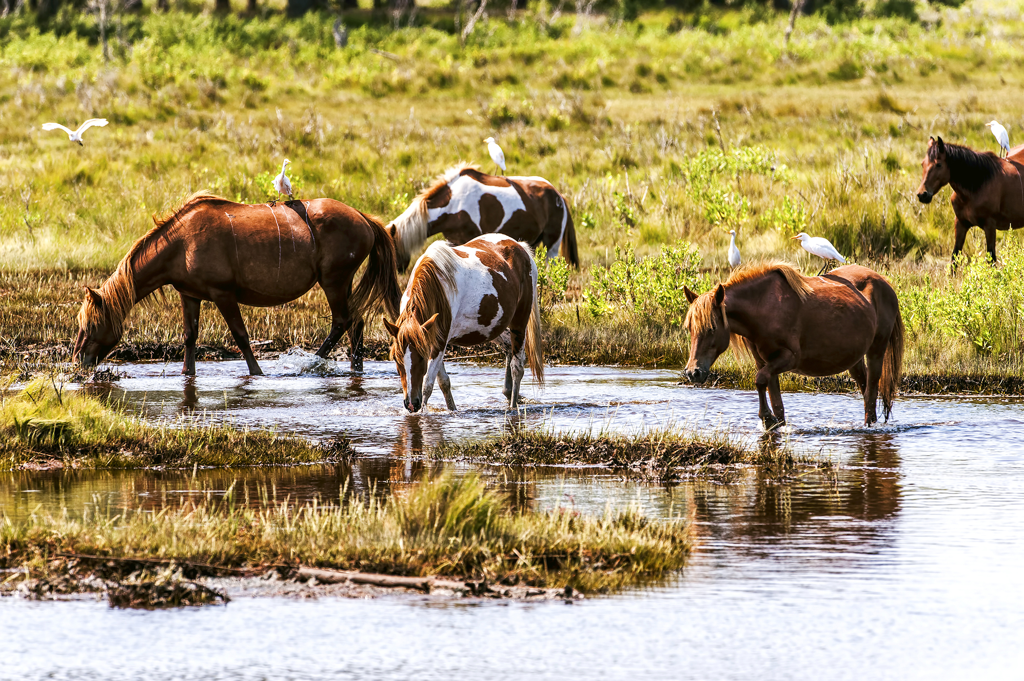 Several cattle egrets were riding these wild horses, Chincoteague Island, Virginia.