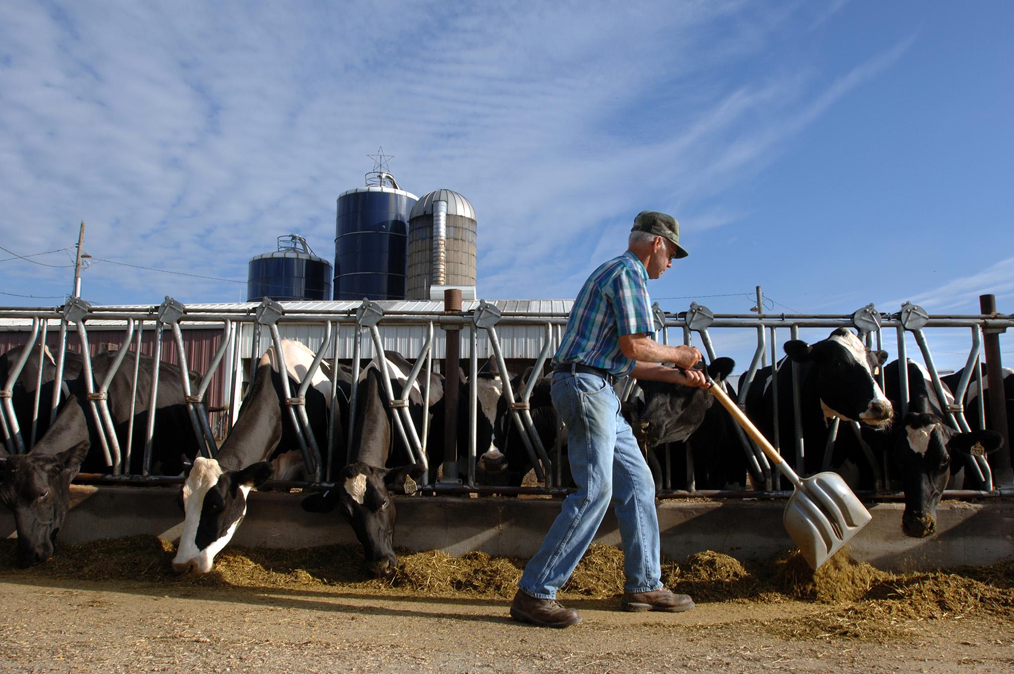 USA, Iowa, Burlington, senior male farmer feeding dairy cows