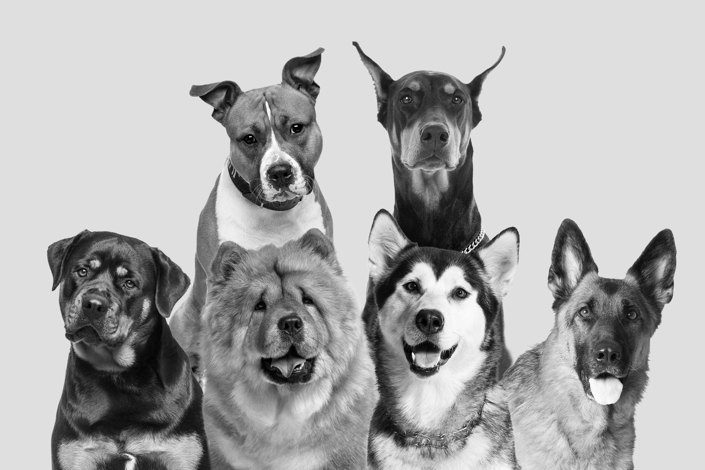 black and white photo of 6 large dogs