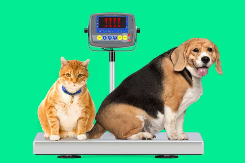 Overweight cat and dog on a digital scale